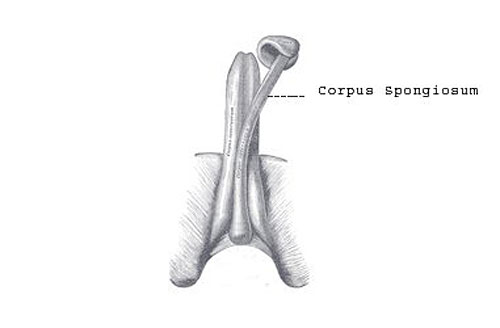 what is your corpus spongiosum? and, what does it do?, Human Body
