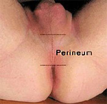 male perineum
