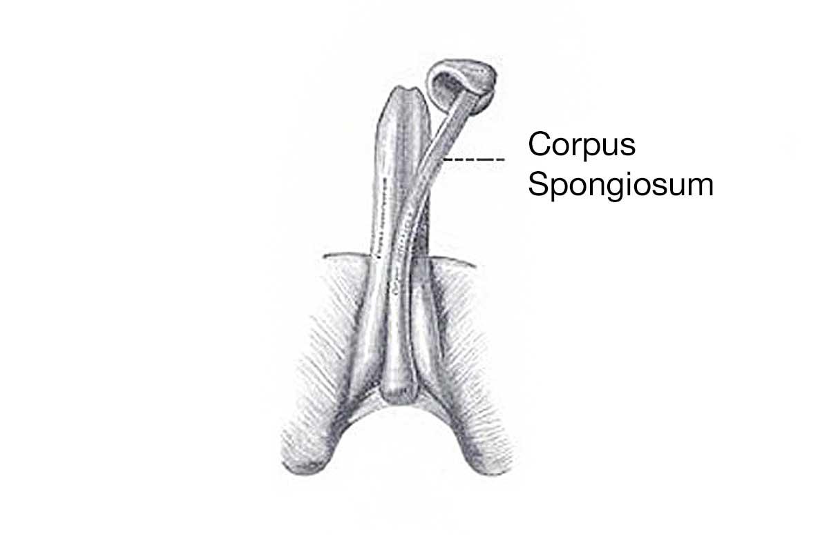 corpus spongiosum during erection