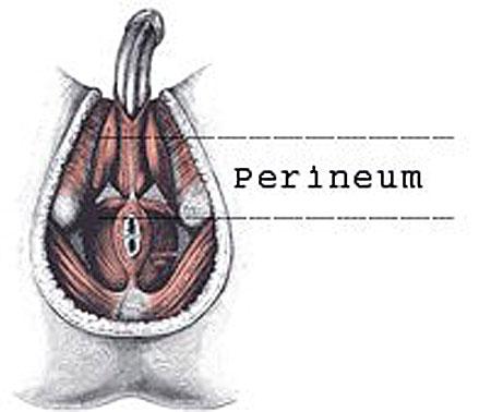 male perineum #2